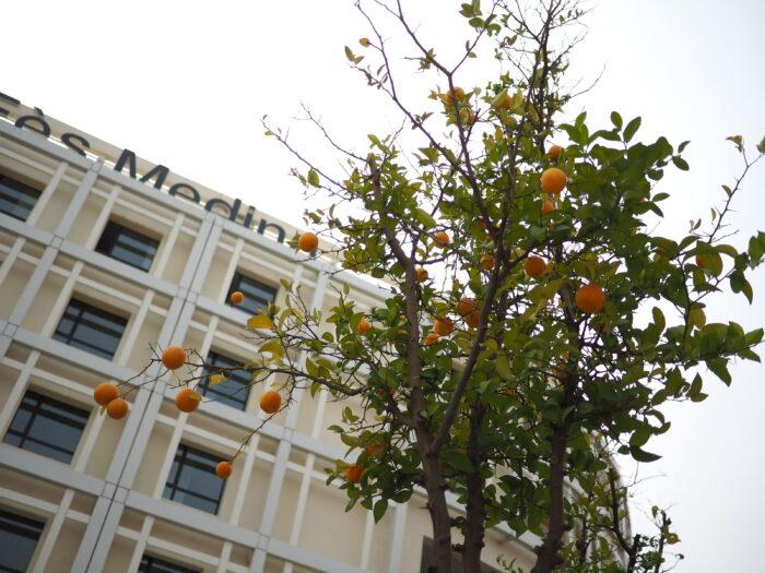 モロッコのオレンジの木
